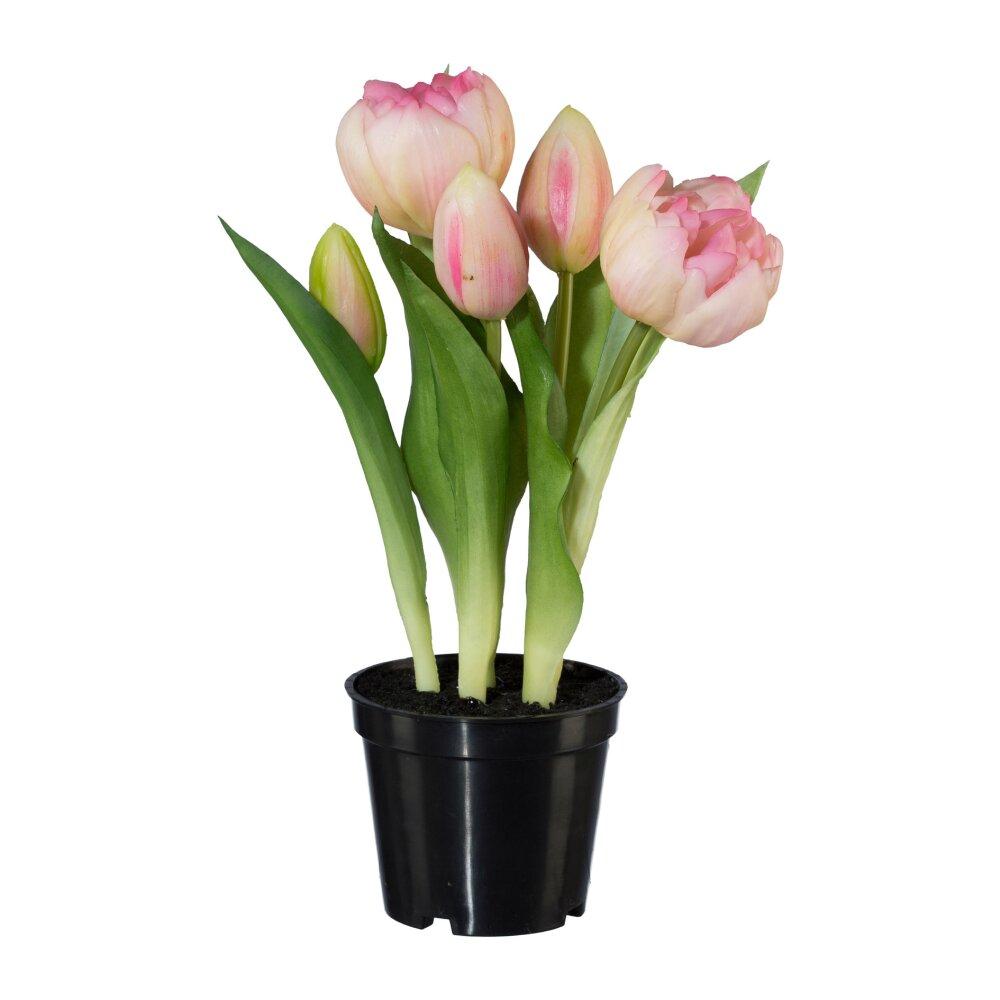 Tulpen Im Topf In Der Wohnung : tulpen im topf in der wohnung blumenzwiebeln im topf berwintern mein sch ner garten r lcker gr ~ Buech-reservation.com Haus und Dekorationen