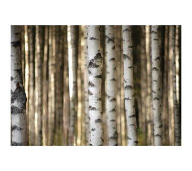 Vlies Fototapete no. 2553   Wald Tapete Bäume Birken...