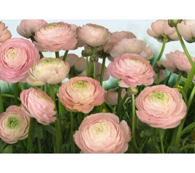 Fototapete KOMAR, GENTLE ROSE, 8 Teile, BxH 368 x 254 cm