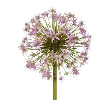 Kunstblume Allium, flieder, Höhe ca. 43 cm